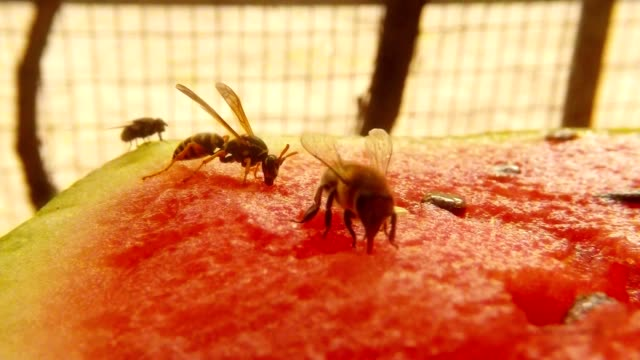 Wasp and Bee Drink Nectar on Water-Melon after Fly Sit on Backgroun Bees Fly Macro video