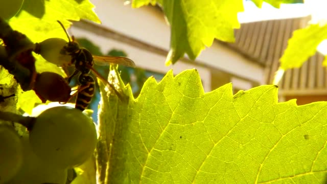 Wasp Climb on Green Grape and Leaves Some Wasps Fly far Country House Close Up video