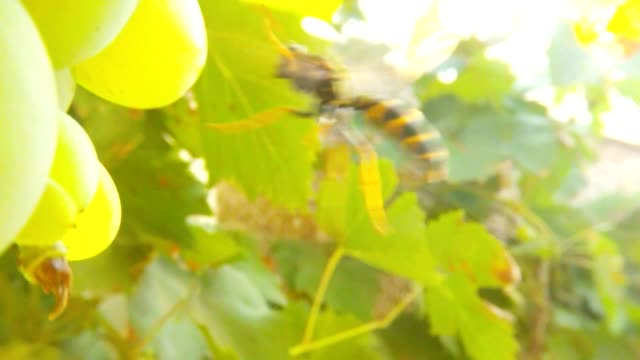 Wasp Fly and Try to Sit on Big Green Grapes on Background Green Leaves Super Macro video