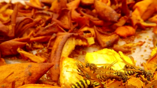 POV Wasp Fly over  Many Wasps Pounce on Chopped Pears and Eat Macro video