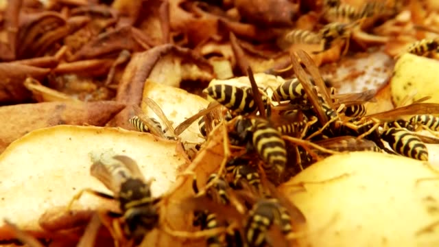 Wasp Fly over One Hundred Wasps Gobble Up Chopped and Putrid Pears Close Up video