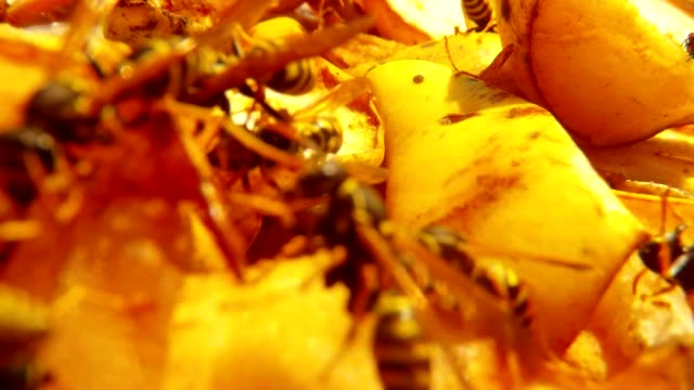POV Wasp Fly over Wasps Swarm in Chopped Pears, Eat and Fly Macro video