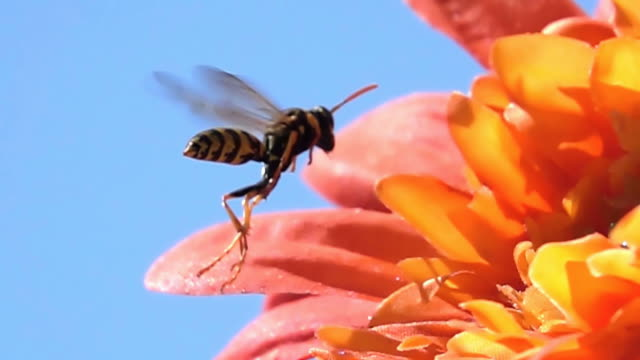 Wasp flying wasp video