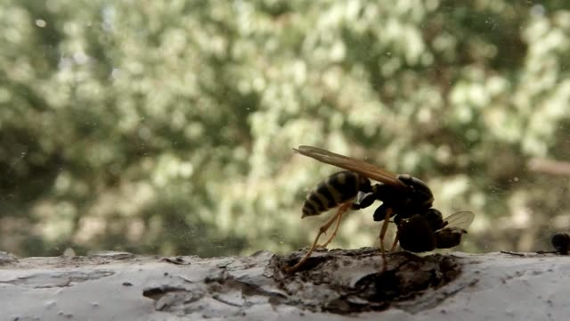 Wasp Gnaw Dead Fly Super Close Up video