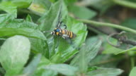 wasp moth is using the proboscis video