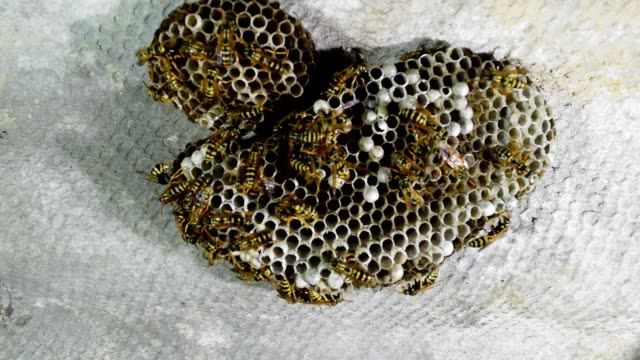 Wasp nest with wasps sitting on it. Wasps polist. video