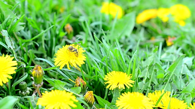 Wasp on a flower dandelion video