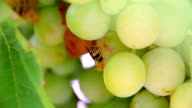 Wasp on grapes video