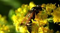 Wasp on yellow flower macro summer heat video