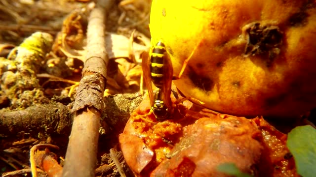 Wasp Plunge with Head in Putrid Pear on Ground Close Up video