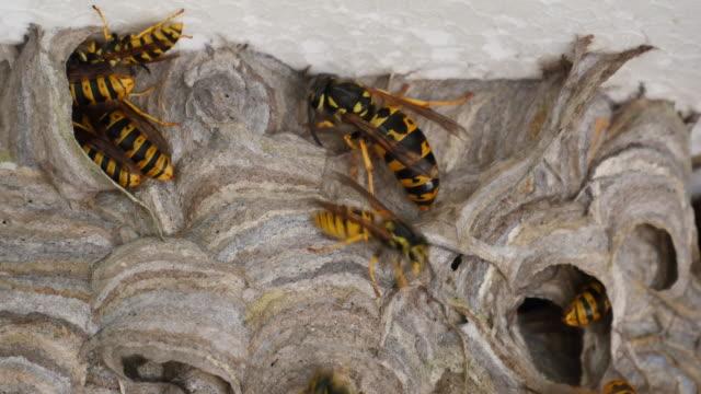 Wasp queen video