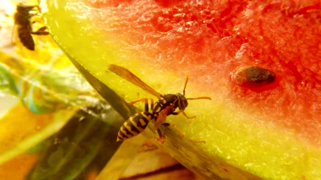 Wasp Sit on Green Peel of Water-Melon Drink Nectar and Fly Away on Background Bee Sit Macro video