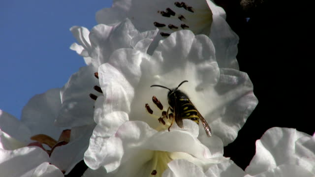 Wasp Taking Off Flower (HD 1080p30) video