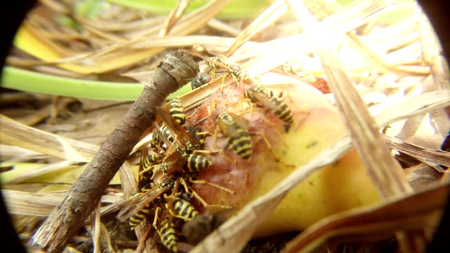 Wasps and Big Fly Banquet on Rotten Pear Macro video