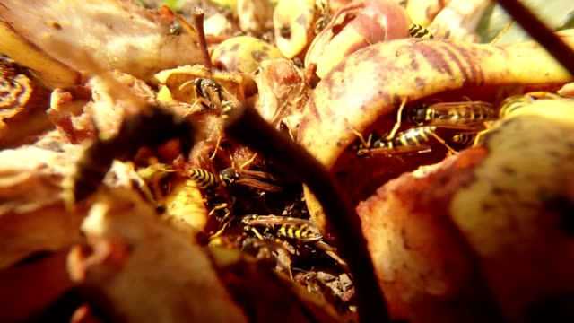 Wasps and Flies Feast on Rotten Pears Close Up video