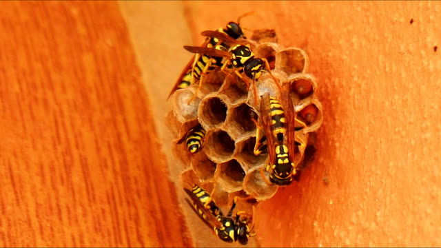 Wasps building a nest video