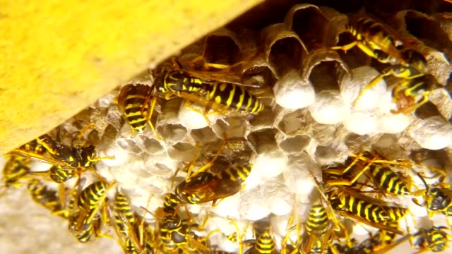 Wasps Chew Food for Larvae in Vespiary Close Up video
