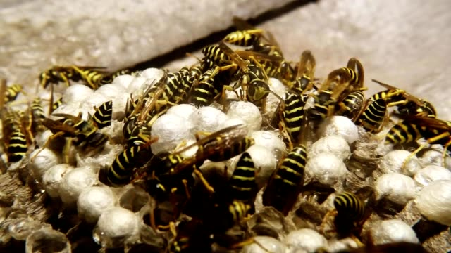 Wasps Climb into Honeycomb and Feed Children Macro video