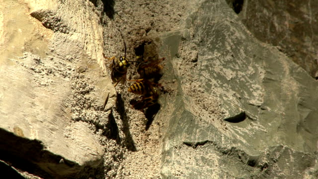 Wasps flying around the entrance of their nest video
