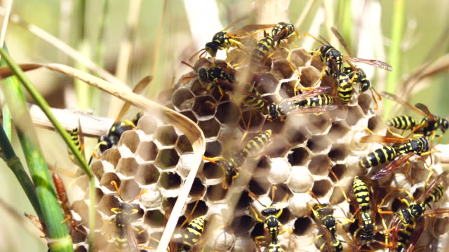 Wasps Hive in the grass video
