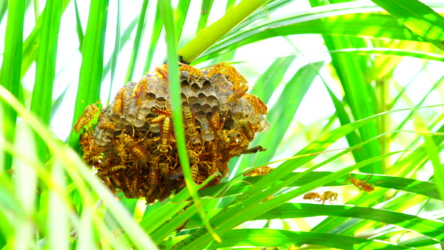 Wasps Hive in the palm tree - Polistes hebraeus video
