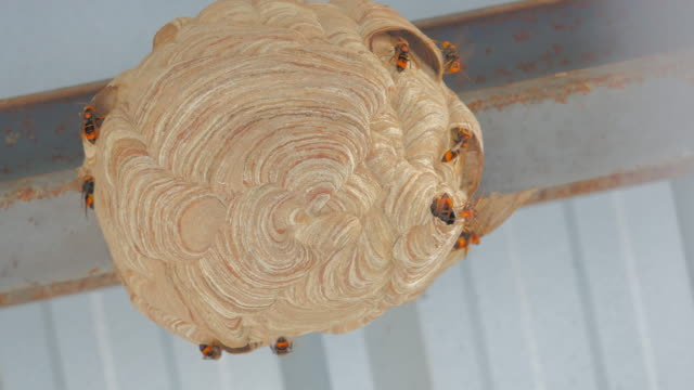 Wasp's nest, Bees on honeycomb video