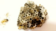 Wasp's nest video