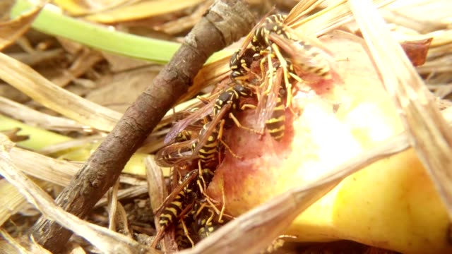 Wasps Substantial Dinner of Fallen Pear Close Up video