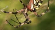 Waspspider video