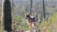 Watchful Coyote, anis latrans in the Sonoran Desert video