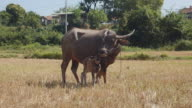 Water buffalo and his baby ruminating side by side in the field video