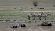 water buffalo and zebras in ngorogorocrater video