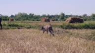 Water buffalo calf stepping towards its mother grazing in a field video