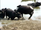 Water Buffalo in Ganges River video