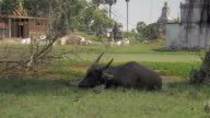 Water buffalo lying down in puddle of muddy water near a stupa area and ruminating video