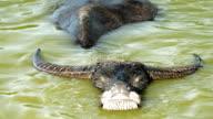 Water buffalo resting in water video