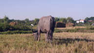 Water buffalo tied up with ripe grazing in a field and calf lying down next to it video