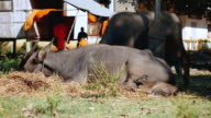 Water buffalo tied up with ripe grazing in a field and calf stretched out in the foreground video