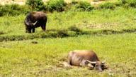water Buffalo video