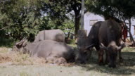 Water buffaloes and calf grazing and lying in a field in shade and sun video