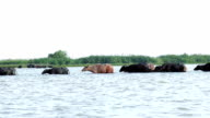 water buffaloes Asia ,in Thailand video