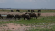 water buffaloes grazing in a field video