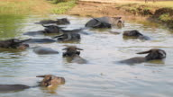 water buffaloes in river during bath time video