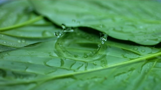 Water drips on leaf, slow motion video