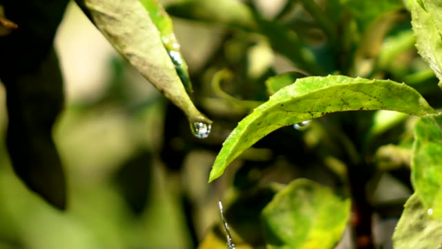 Water drips on leaves, slow motion video