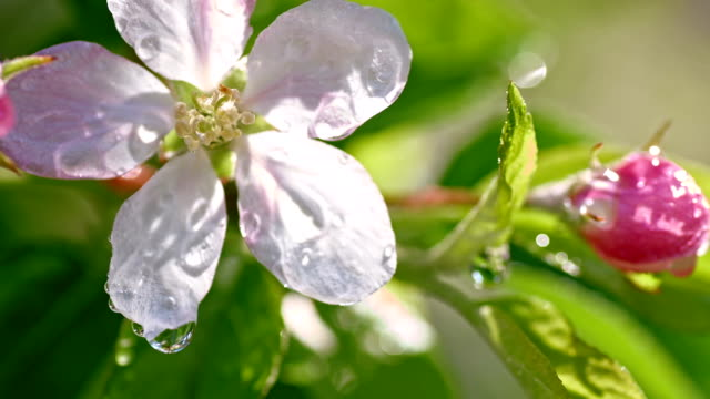 SLO MO Water drop falling on the apple blossom video