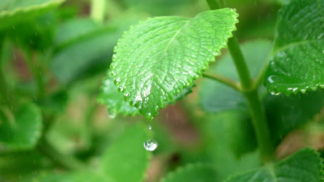 Water drop from leaf,Slow motion video