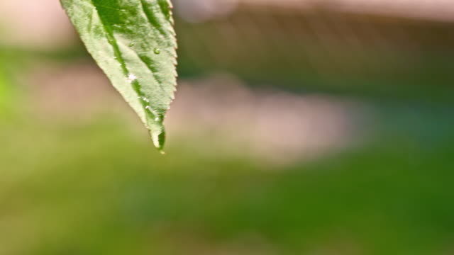SLO MO Water drops dripping off the leaf video