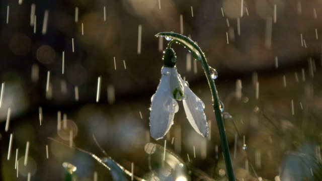 CLOSE UP: Water drops falling and sliding down the stem of beautiful snowdrop video