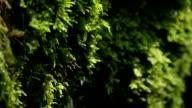 CLOSE UP: Water drops falling off a wet moss video